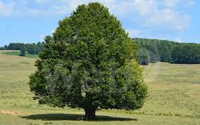 albero ITALIA NOSTRA BACCHETTA CASERTA: NO ALLABBATTIMENTO DEGLI ALBERI