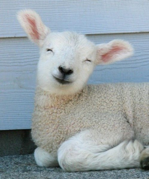 happy lamb is happy LAPASQUA SI AVVICINA: È IL MOMENTO DI PENSARE COSA PREPARARE PER IL PRANZO