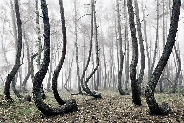 foresta polonia alberi storti 2 631x420 IN POLONIA UNA MISTERIOSA FORESTA DI PINI