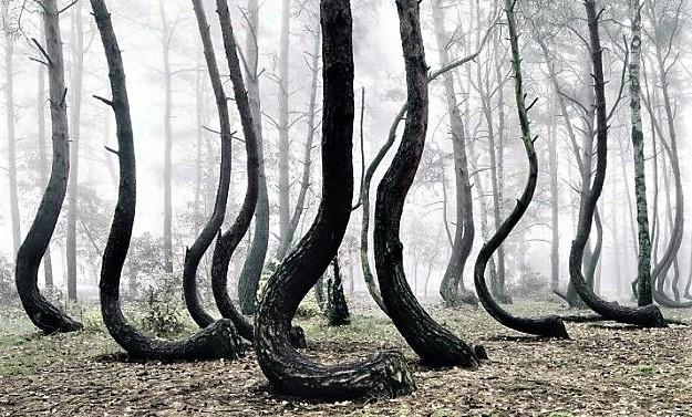foresta polonia alberi storti 5 631x420 IN POLONIA UNA MISTERIOSA FORESTA DI PINI