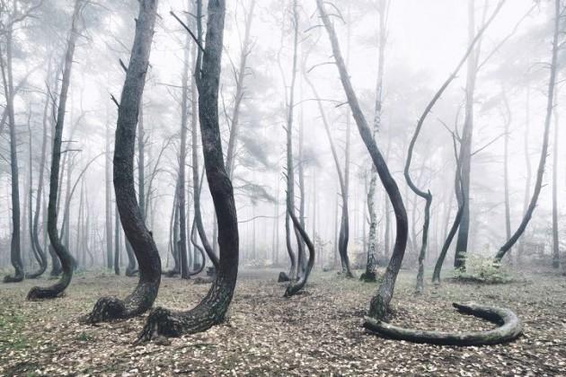 foresta polonia alberi storti 6 630x420 IN POLONIA UNA MISTERIOSA FORESTA DI PINI