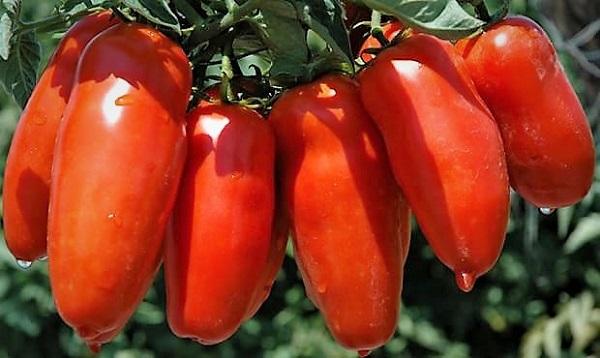 pomodori san marzano È TEMPO DI POMODORI, E DEL LORO RE, IL SAN MARZANO…