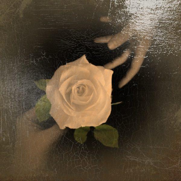 rosa LA TRENTANOVESIMA ROSA