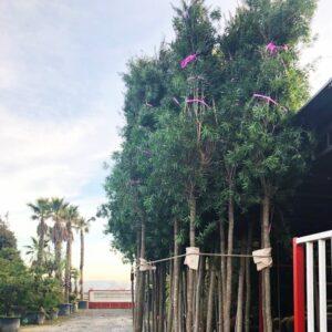 Nuove piante Corso Garibaldi 300x300 60 NUOVI ALBERI A CORSO GARIBALDI